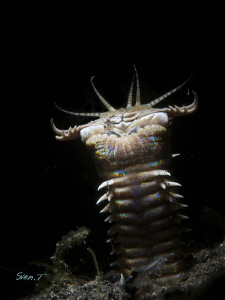 Bobbit worm, scary guy...(snoot) by Sven Tramaux 